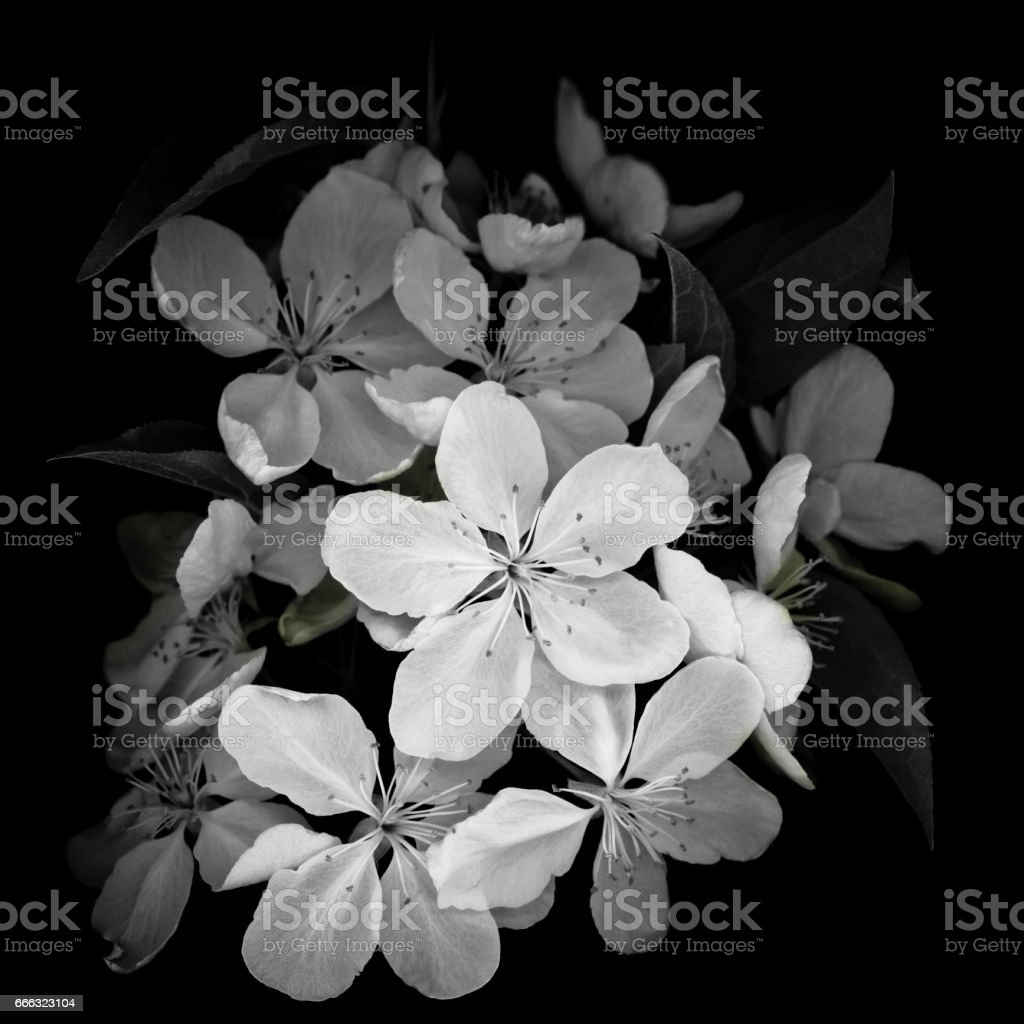 Crab apple blossoms isolated on black stock photo