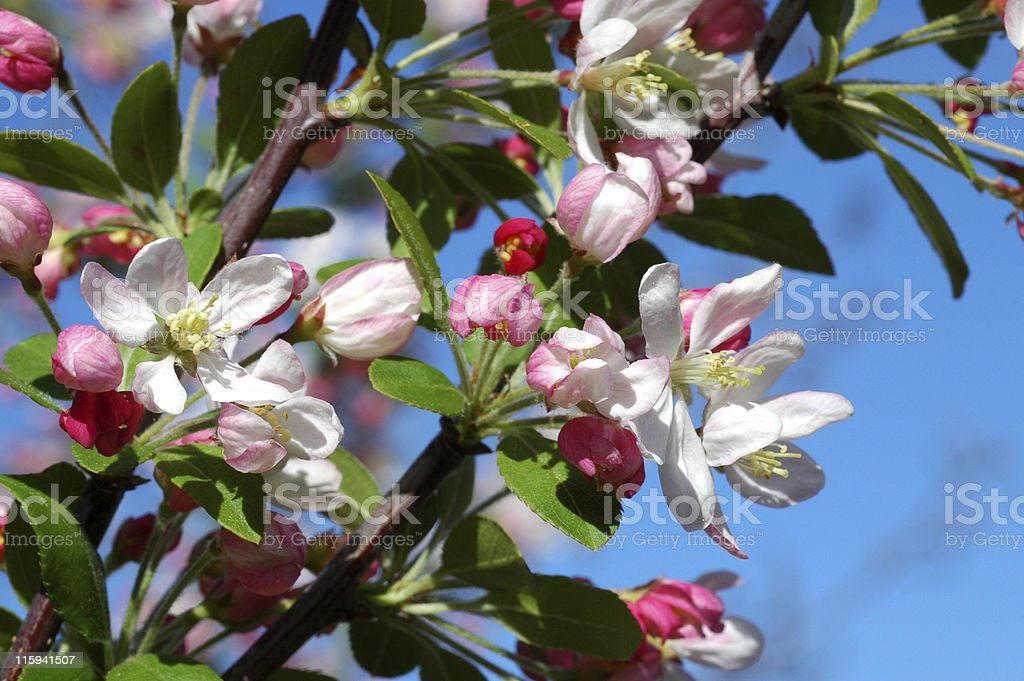 crab apple blossoms, Malus species royalty-free stock photo