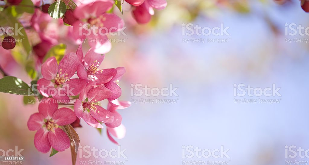 Crab Apple Blossoms stock photo