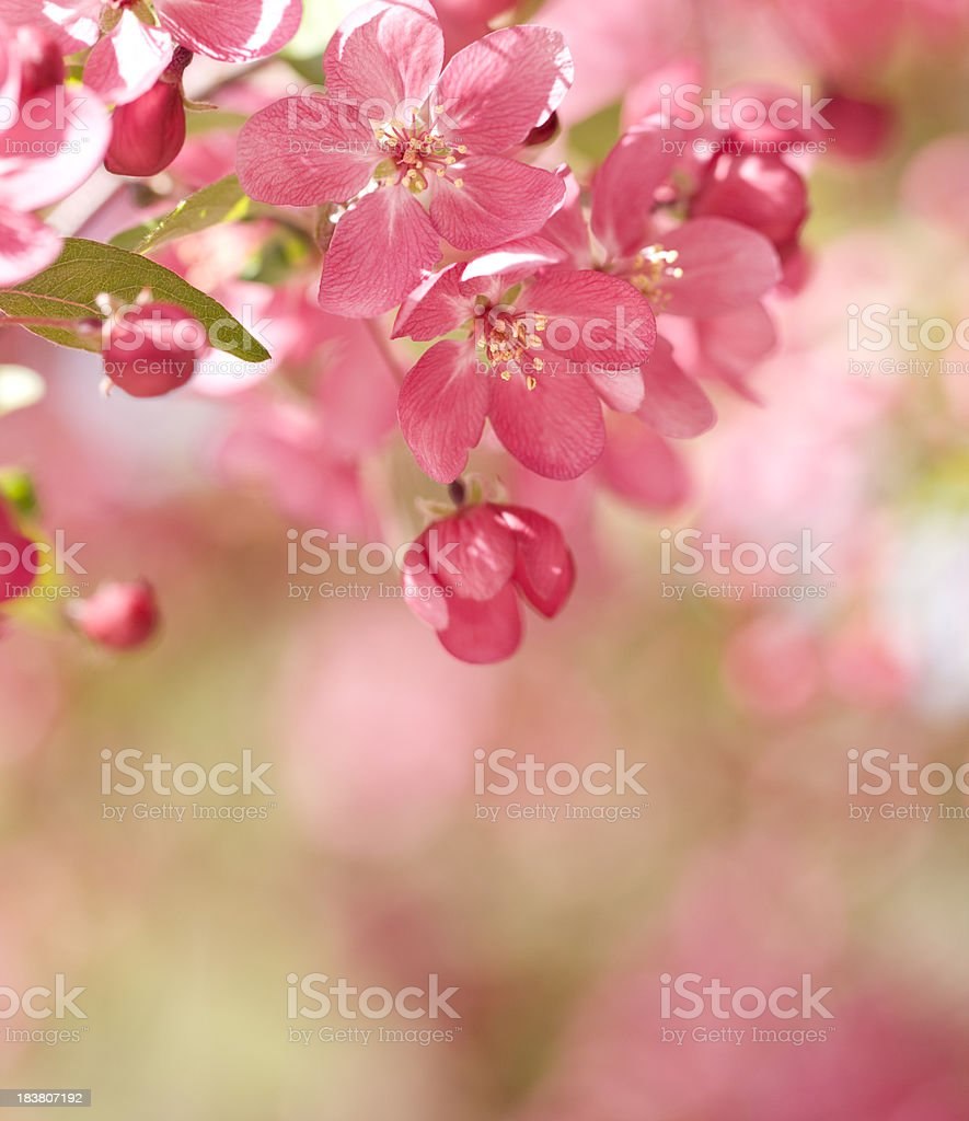 Crab Apple Blossoms royalty-free stock photo