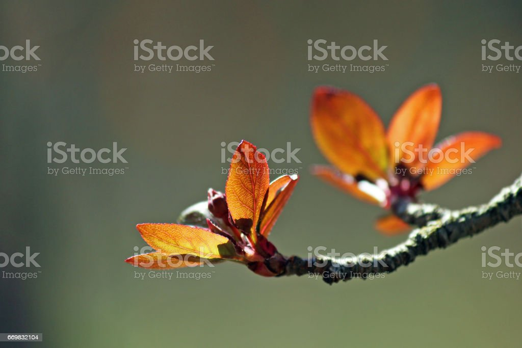 Crab apple light stock photo