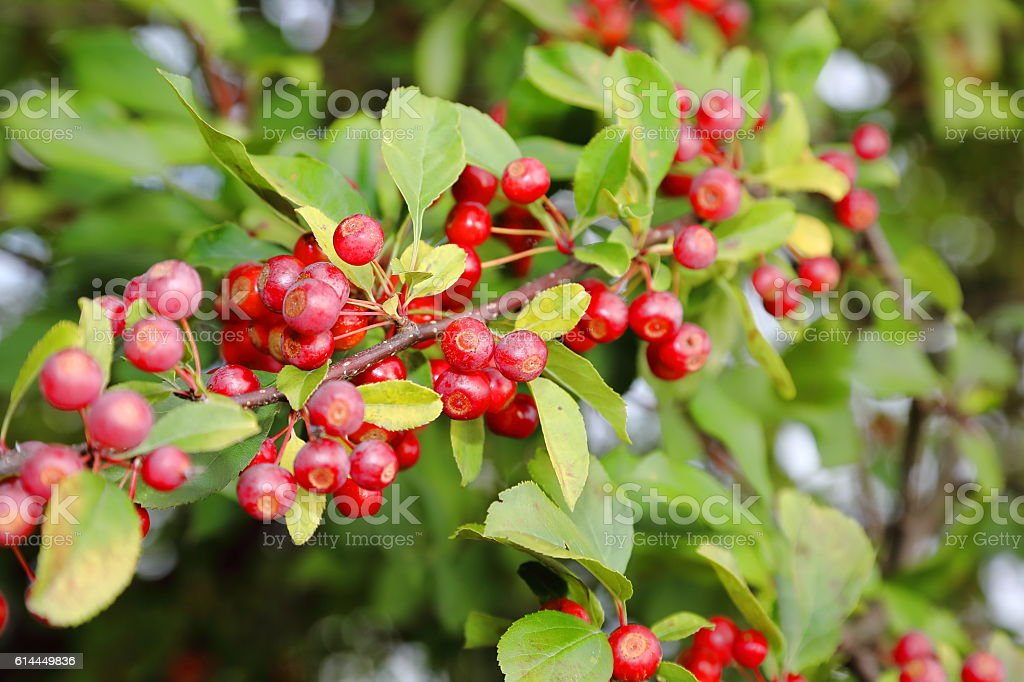 Crab apple - malus baccata stock photo