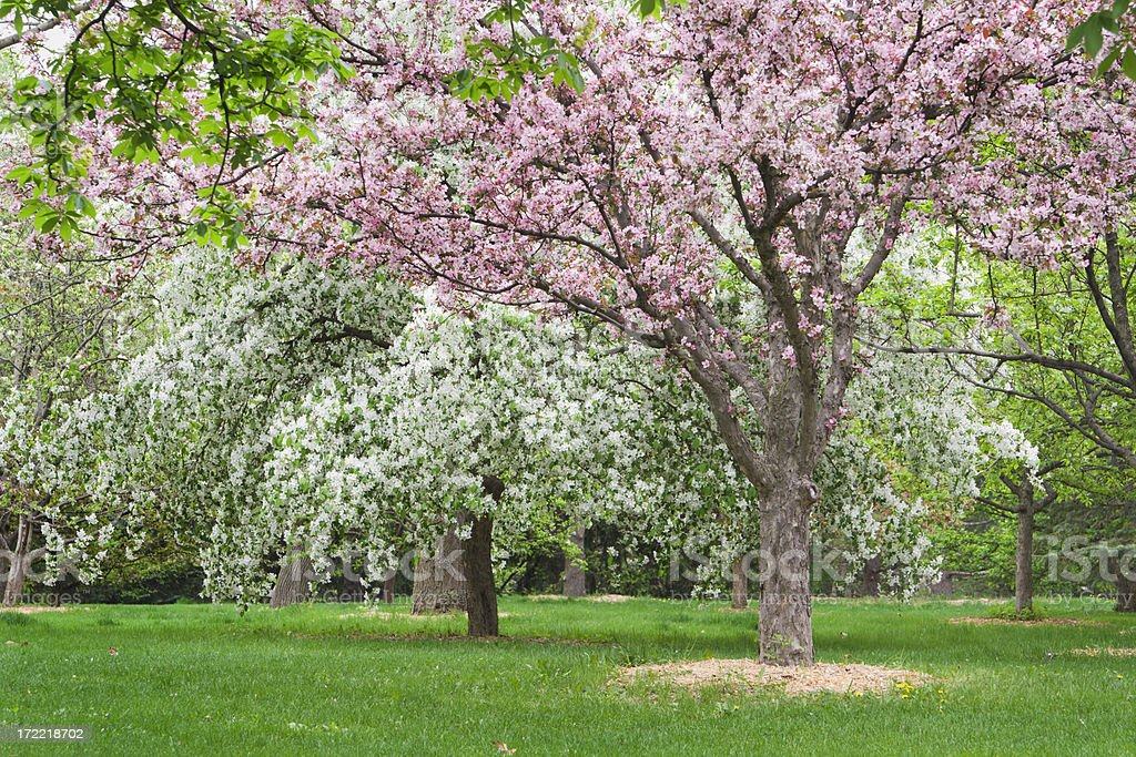 Crab Apple Orchard royalty-free stock photo
