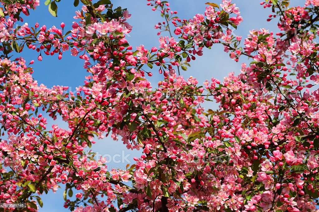 Crab apple tree blooming - malus baccata stock photo