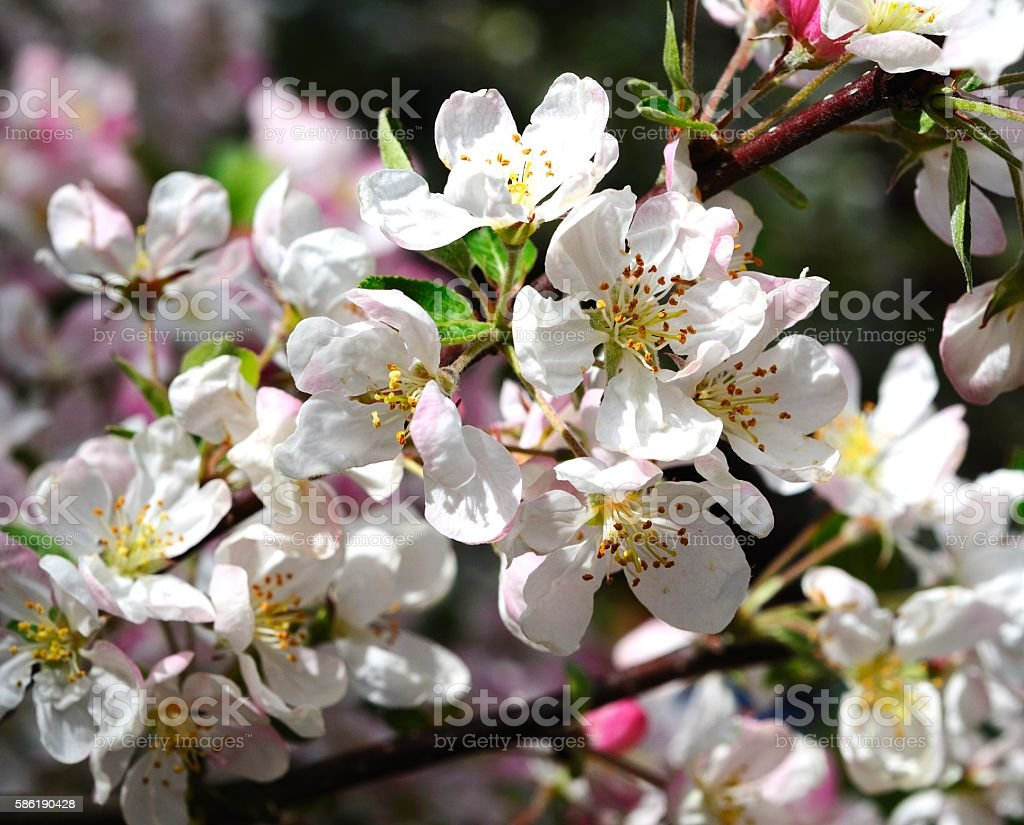 Crab apple tree blossom. stock photo