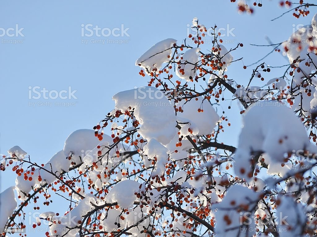 Crab apple tree branches in winter. Sunrise/sunset. stock photo