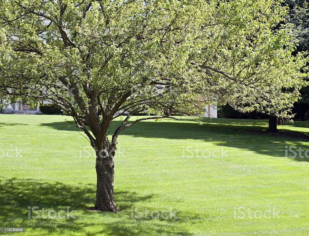 Crab Apple Tree in summer stock photo