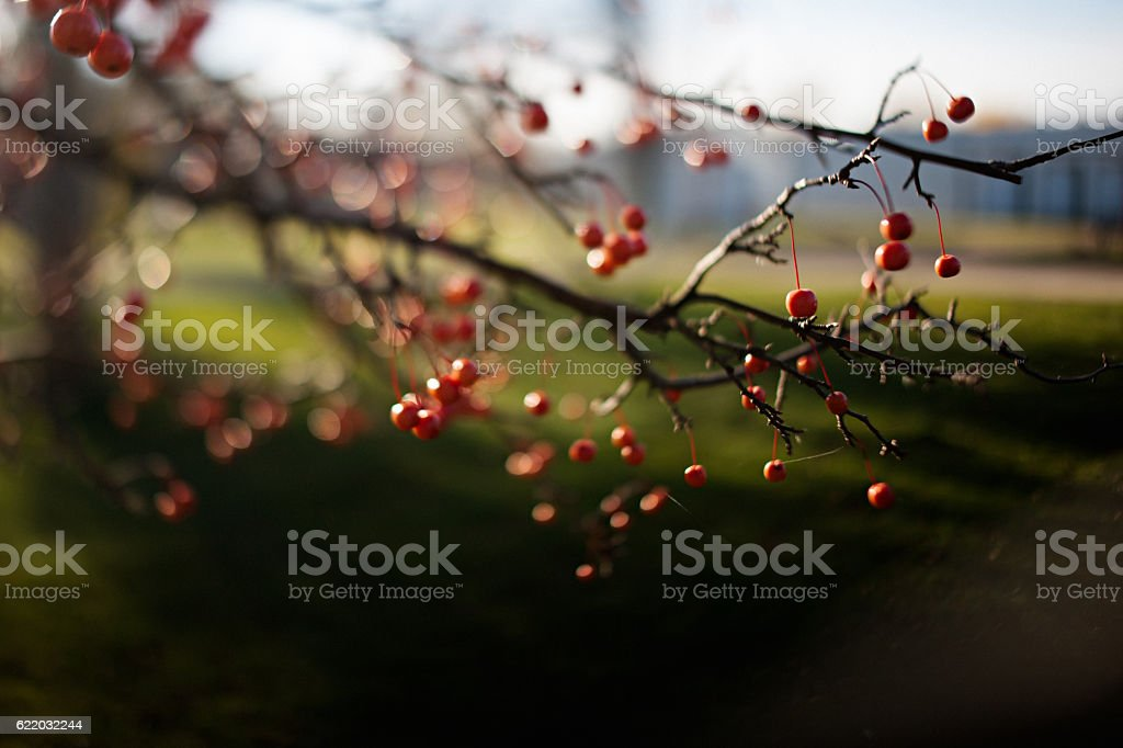 Crab apples on tree stock photo