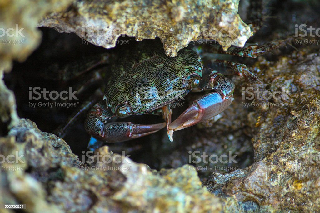 Crab eat a cuttlefish bone in the rock stock photo