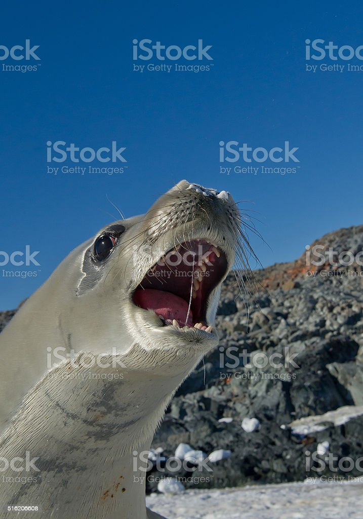 Crab eater seal stock photo