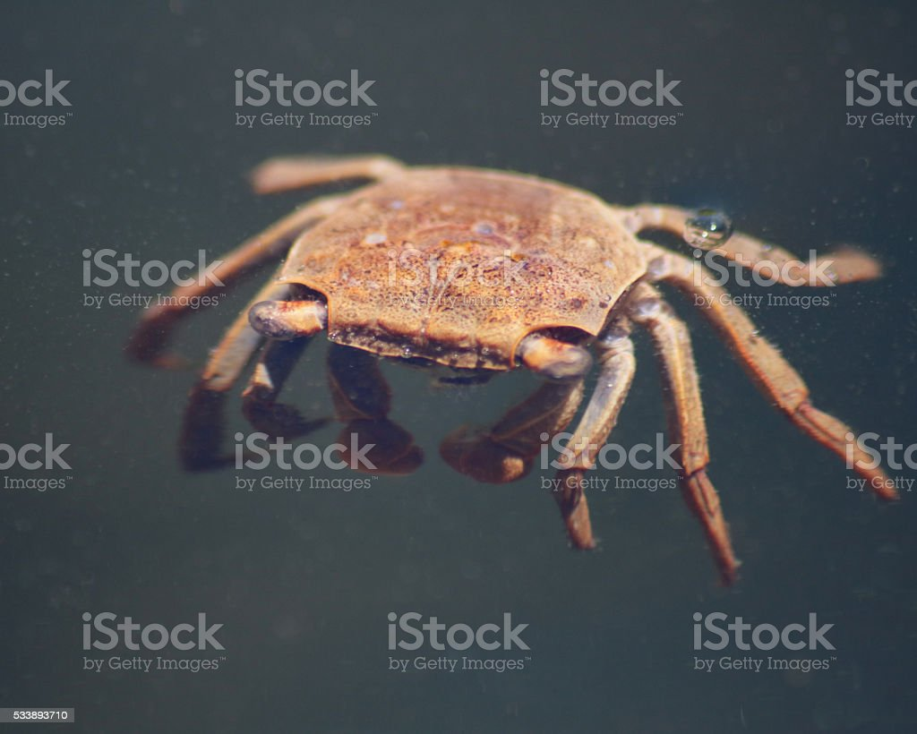 Crab floating photo libre de droits