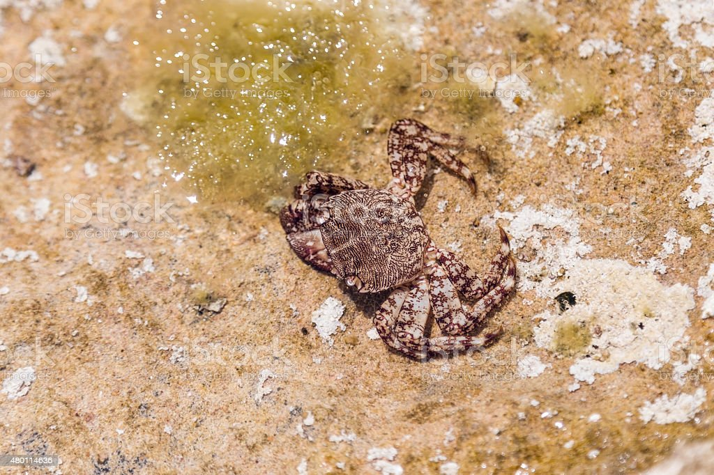 Crab in shallow water stock photo