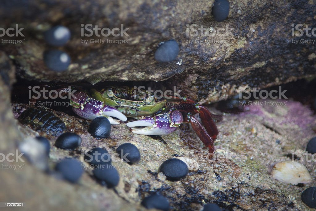 Crab on Jervis Bay stock photo