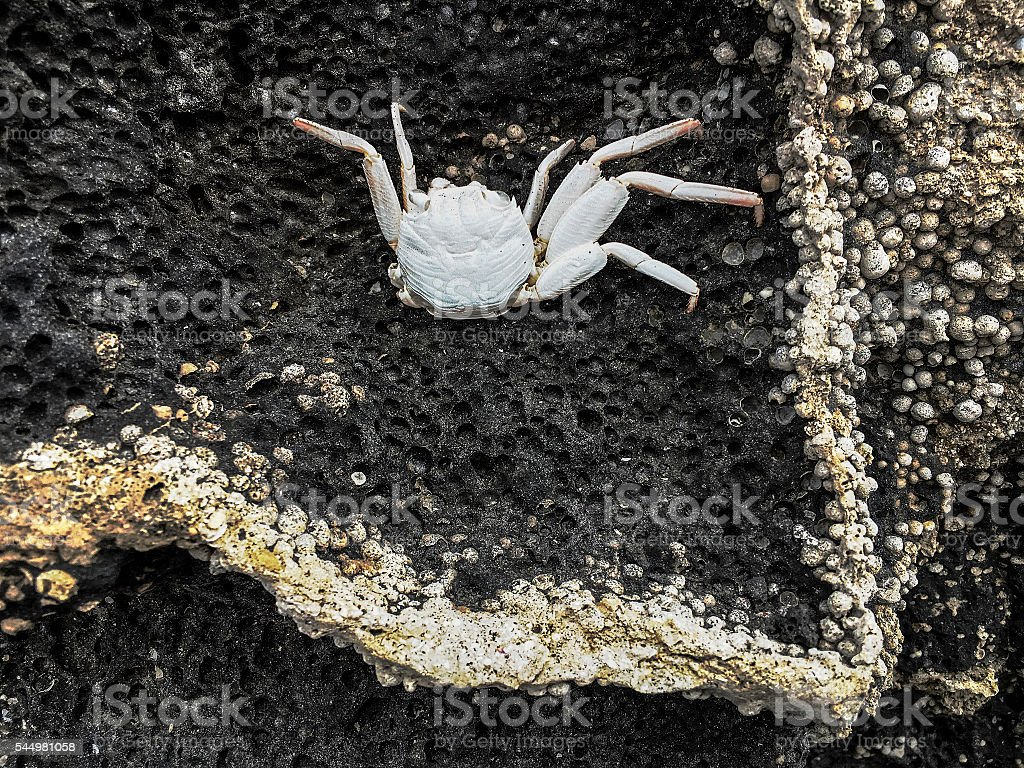 Crab on lave rock stock photo