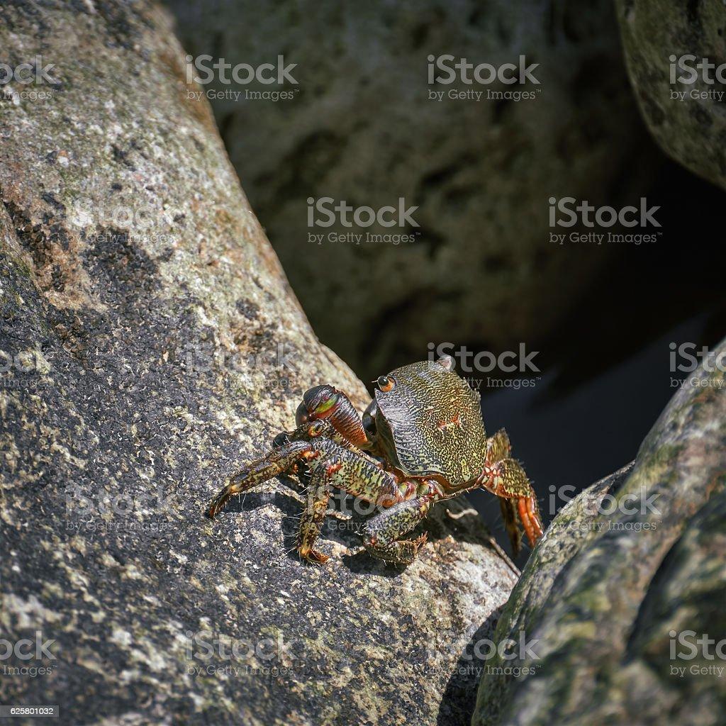 Crab on Rock stock photo