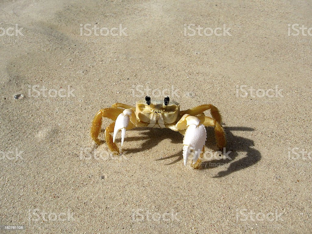 crab on  sand, crabe des sables beach stock photo