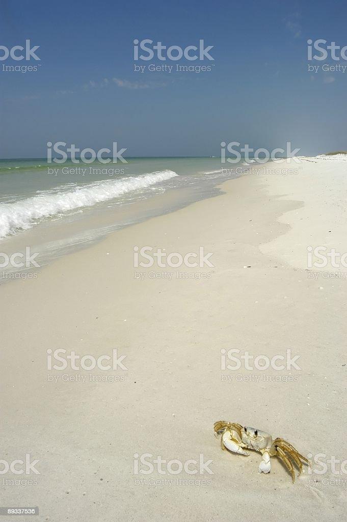 Crab on the Gulf Coast Beach stock photo