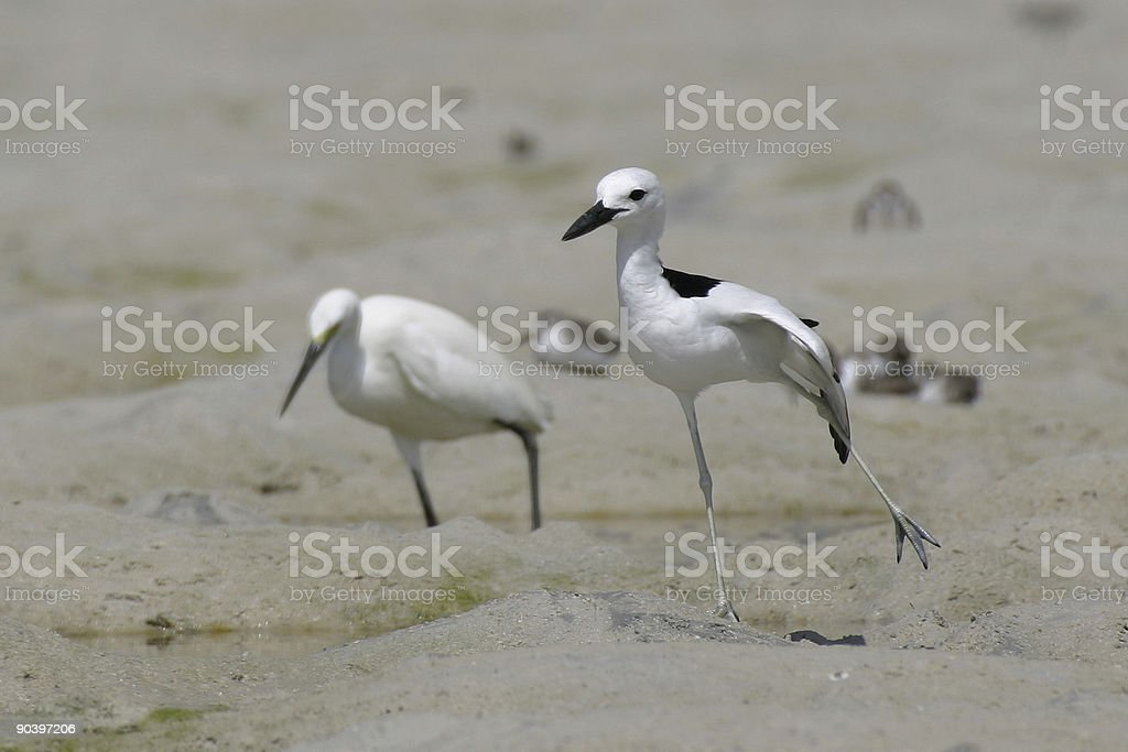 crab plover royalty-free stock photo