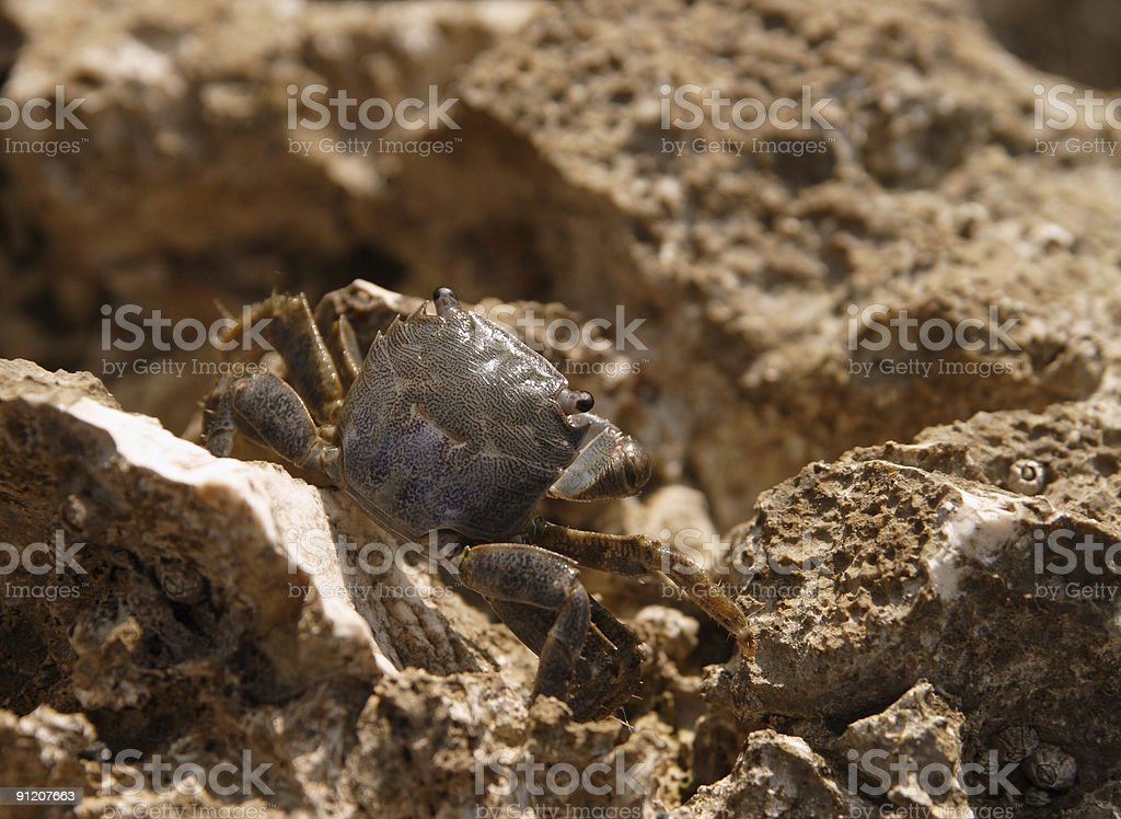 crab pretending he's not there royalty-free stock photo