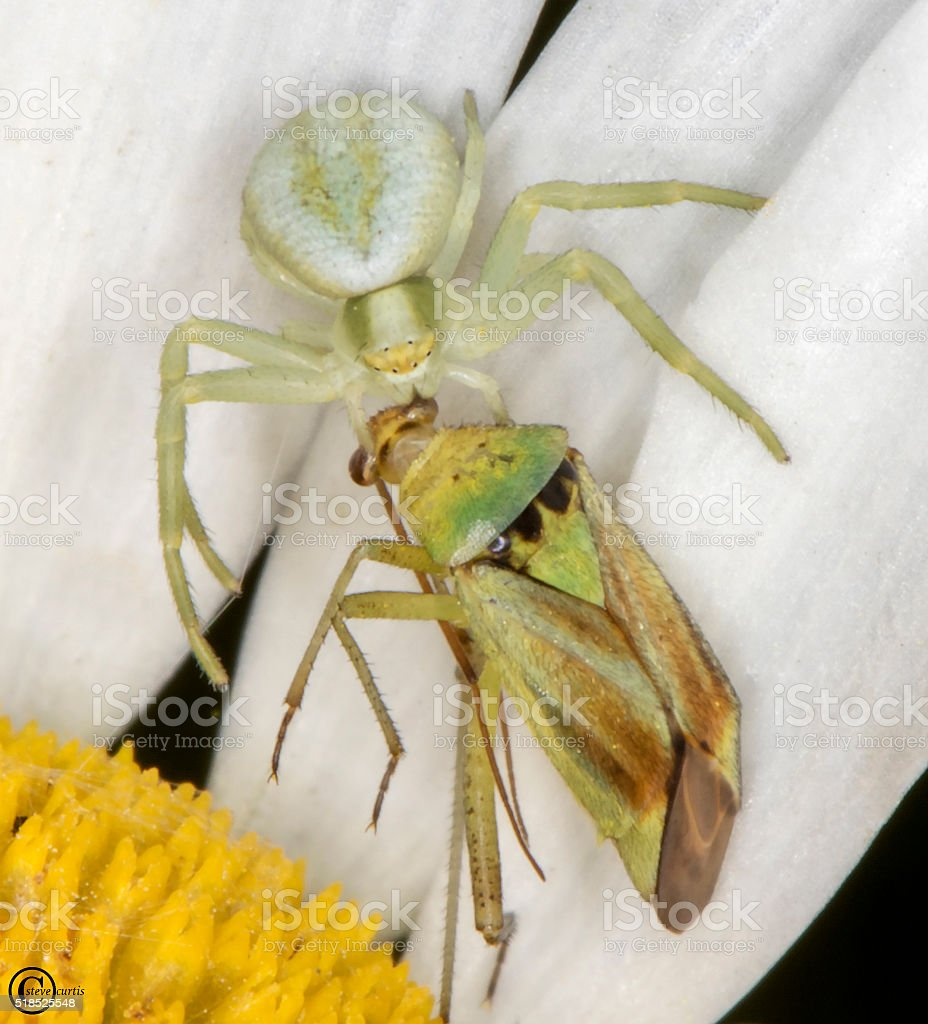 crab spider capturing fly stock photo