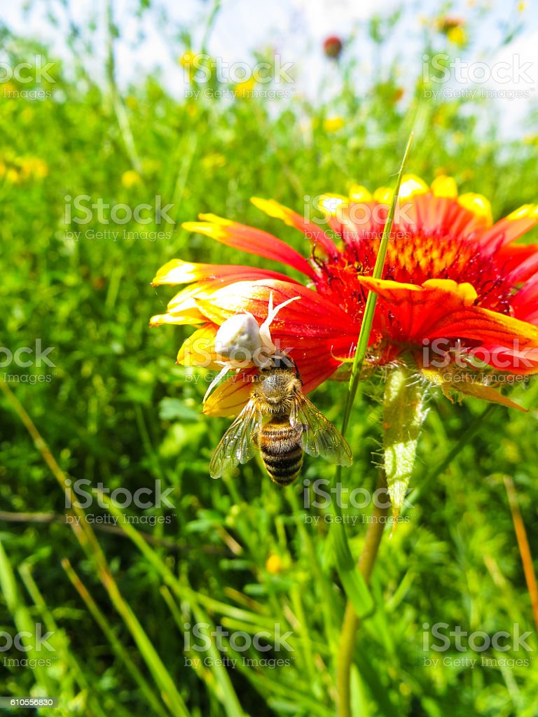 Crab Spider eating a bee on a flower stock photo