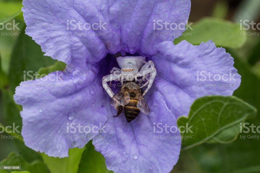 crab spider eating a bee stock photo