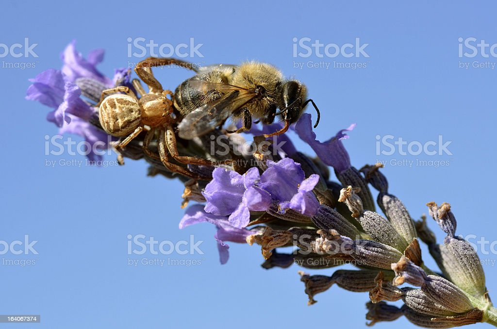 Crab spider eating bee royalty-free stock photo