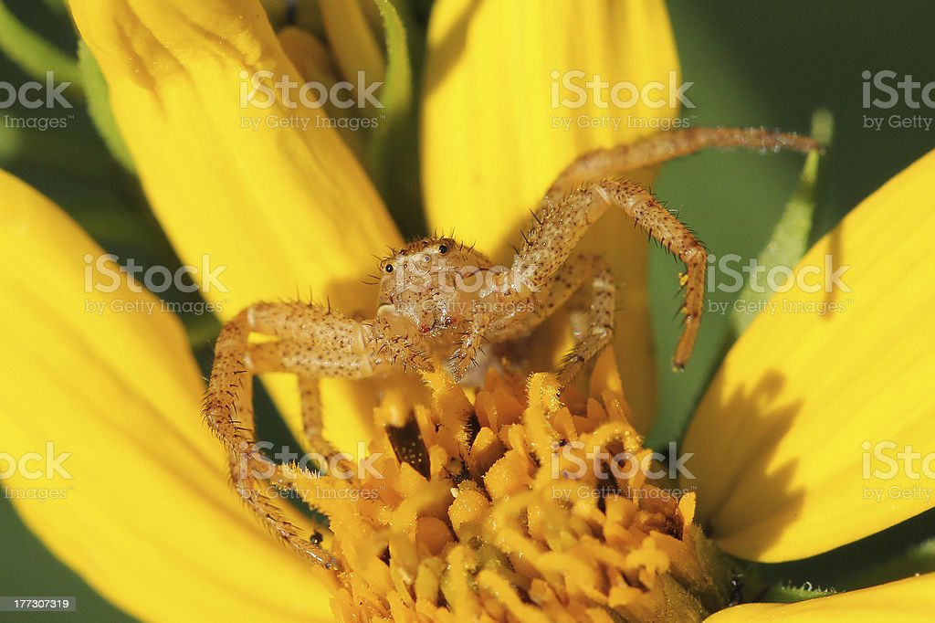 Crab Spider Hiding in a Sunflower royalty-free stock photo