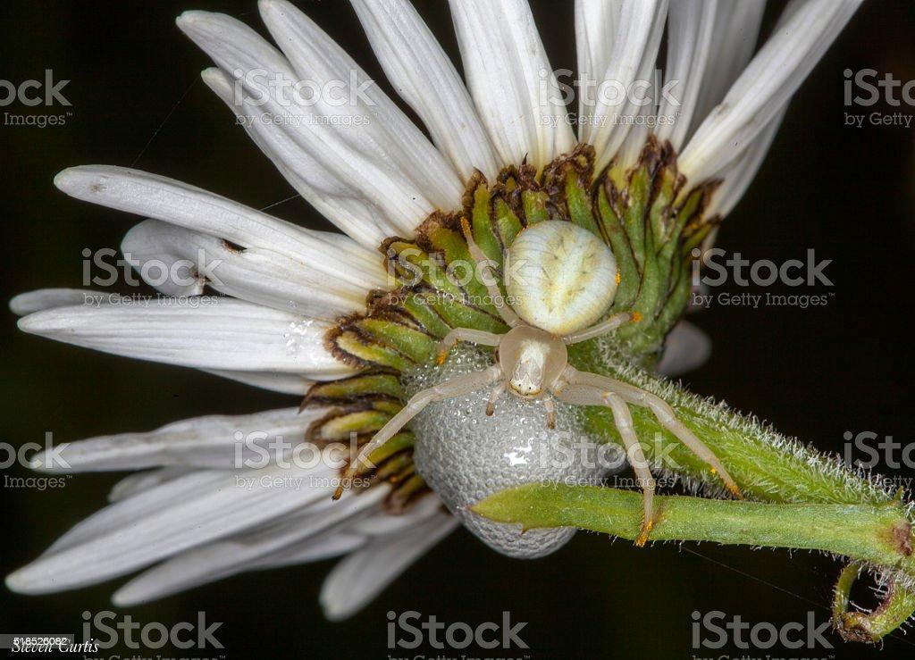 crab spider on daisy stock photo