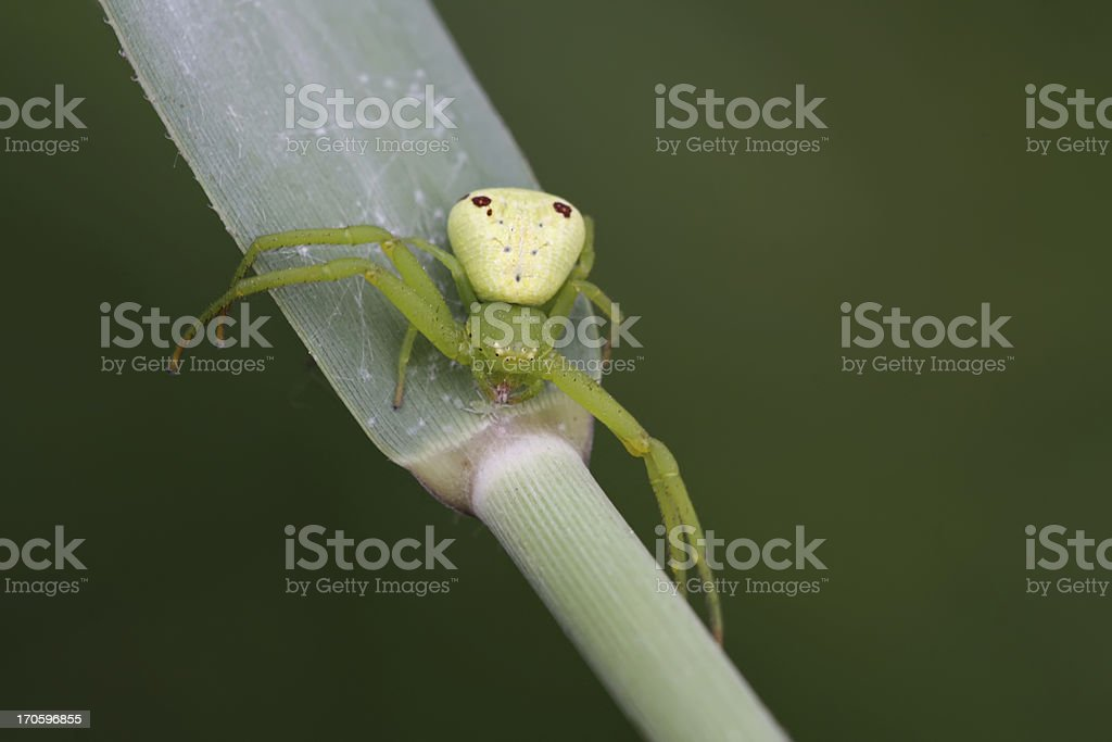 crab spider stock photo