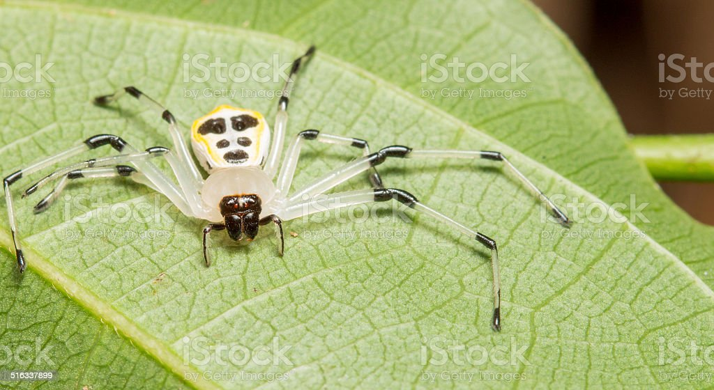 Crab Spider stock photo