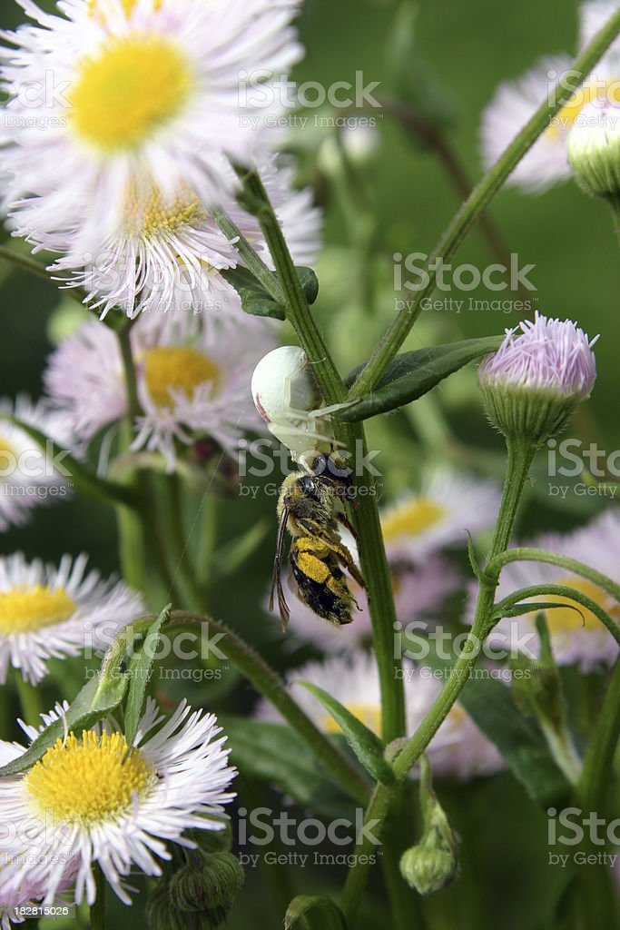 Crab spider snacking on some lunch royalty-free stock photo
