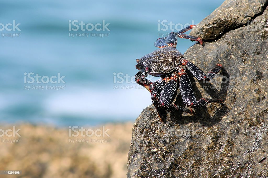 Crab taking the sun on a rock in beach royalty-free stock photo