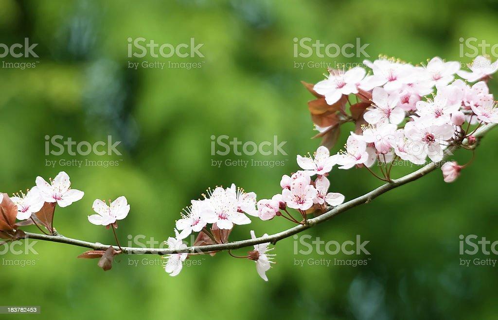 Crabapple Branch royalty-free stock photo