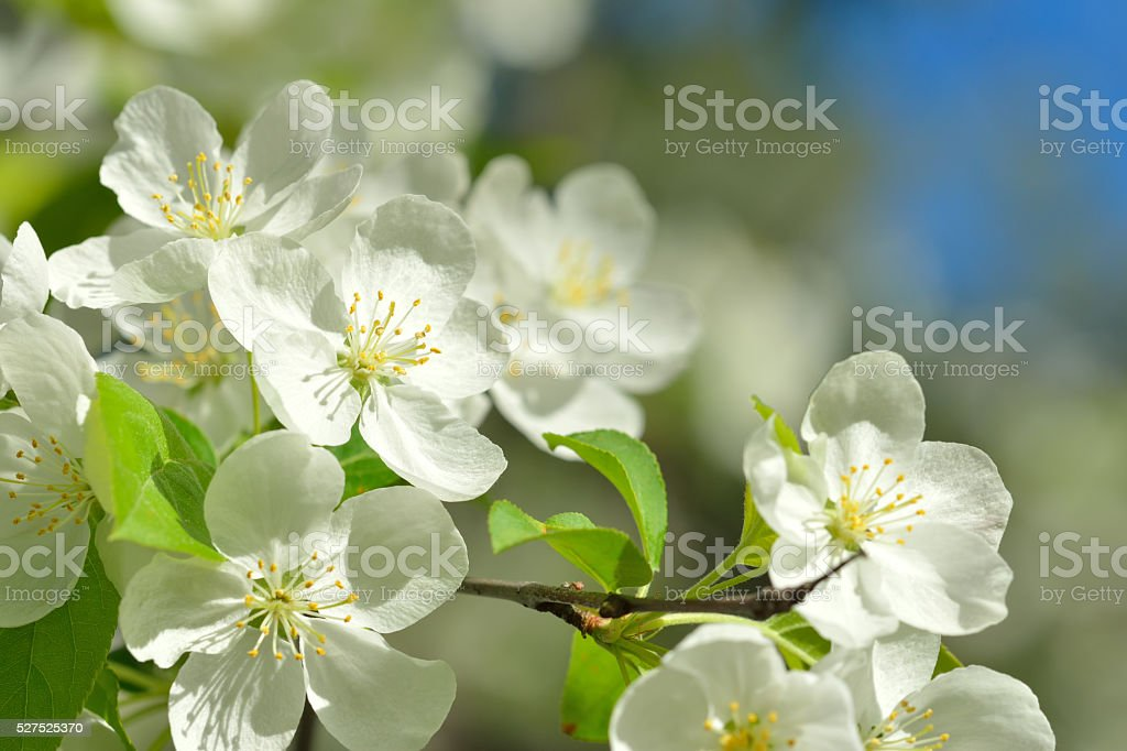 Crabapple flowers stock photo