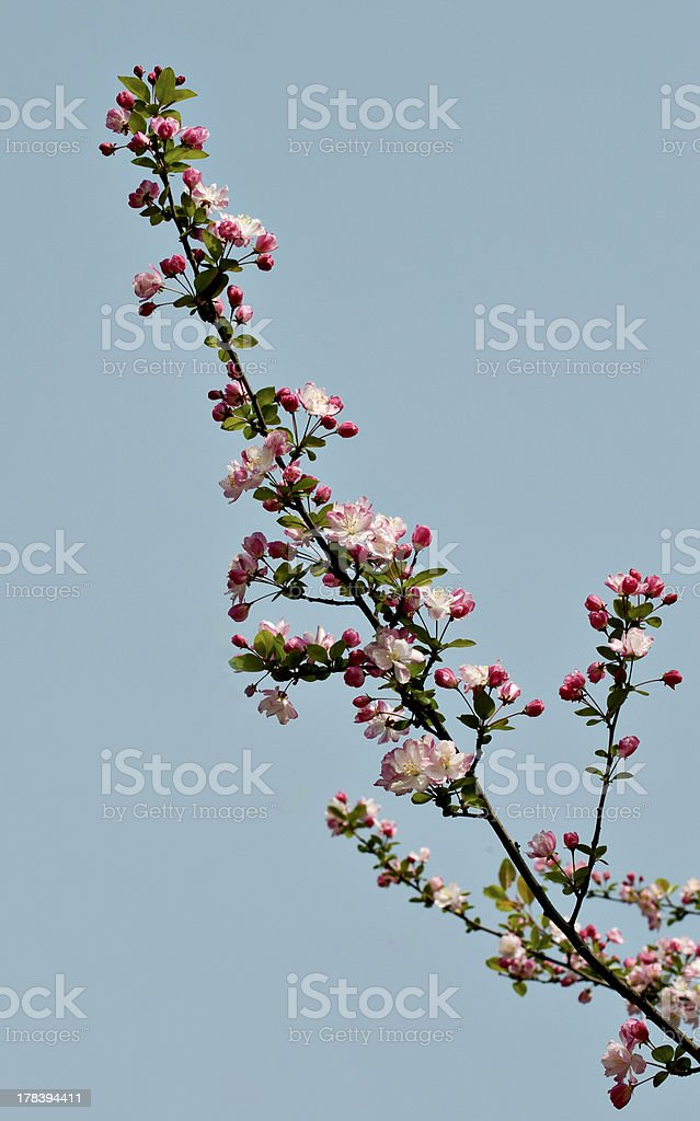 crabapple fower branches stock photo