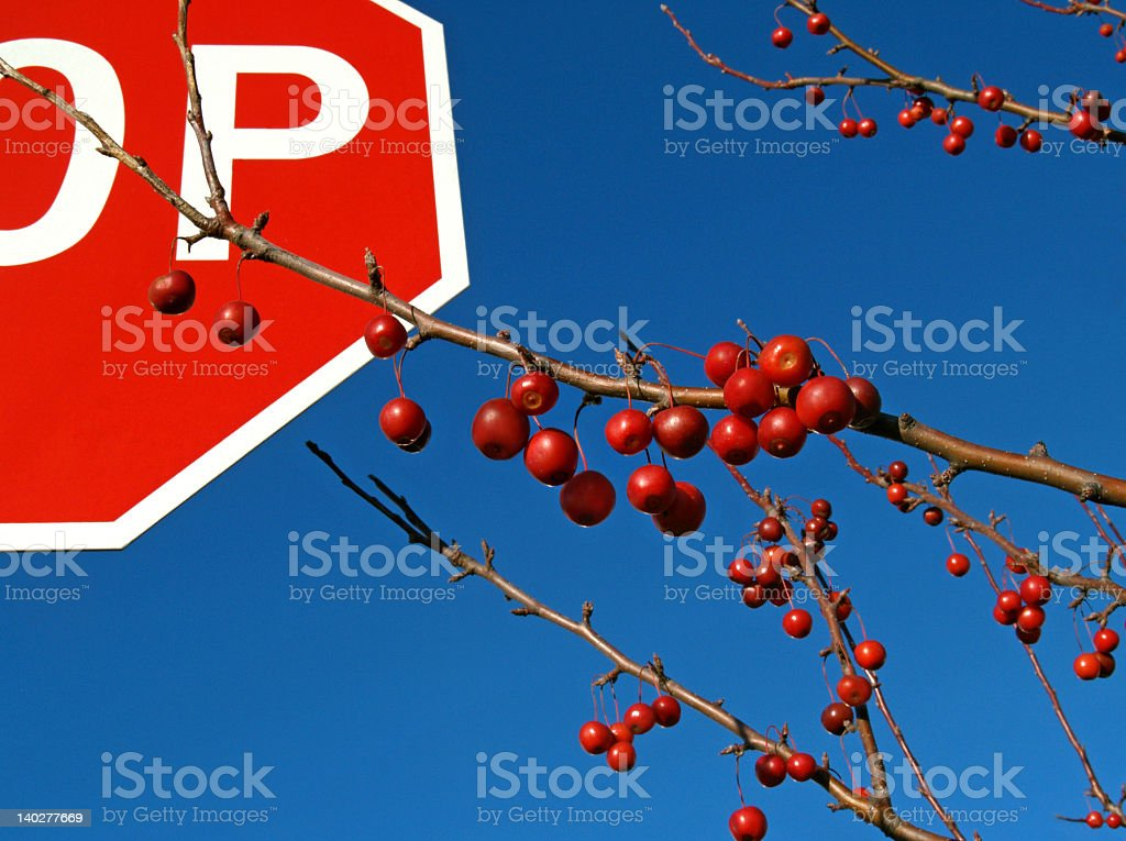 Crab-apple Tree Being Stubborn Strives for Azure Sky royalty-free stock photo