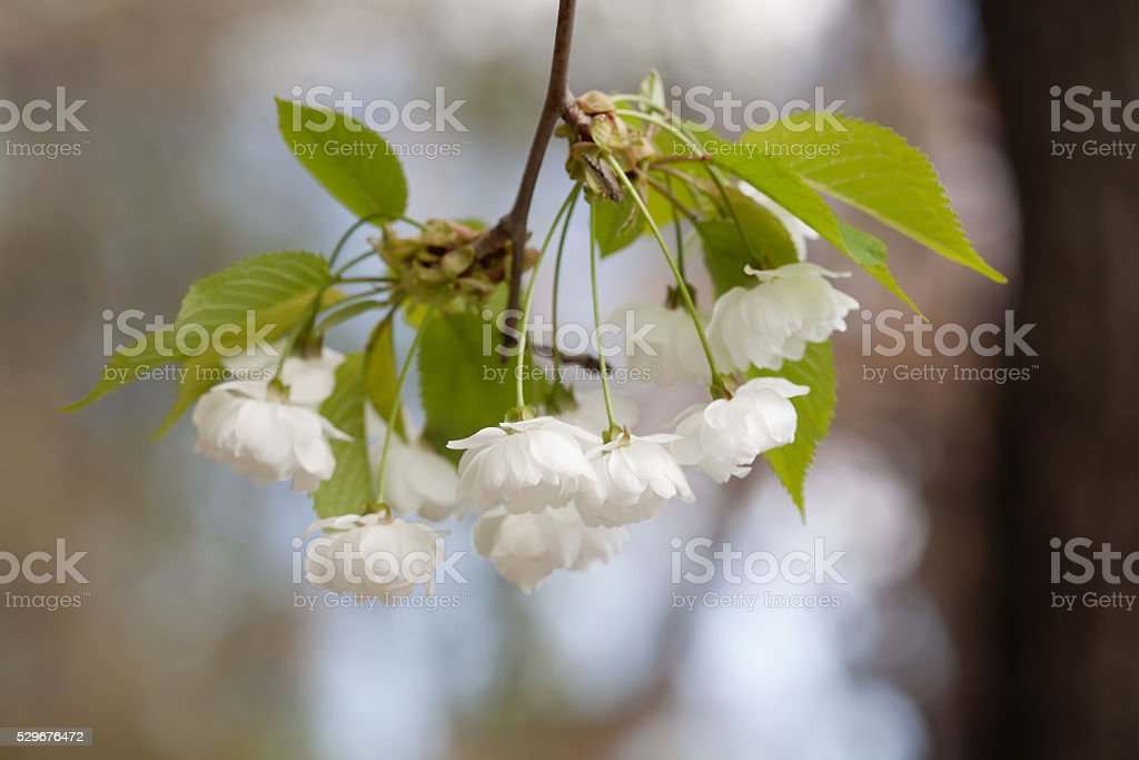 Crabapple tree flowers. Malus prunifolia, chinese apple branch with white stock photo