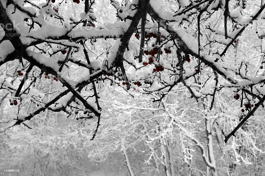Crabapple Tree in Winter royalty-free stock photo