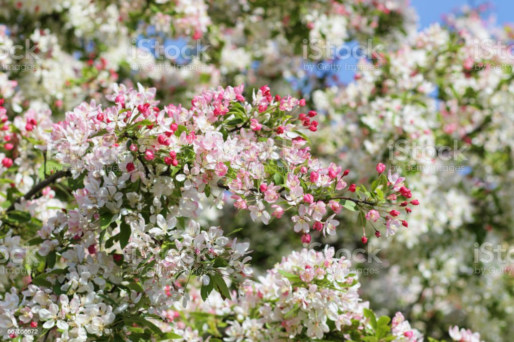 Crabapple tree Malus floribunda with pink and white spring blossom stock photo