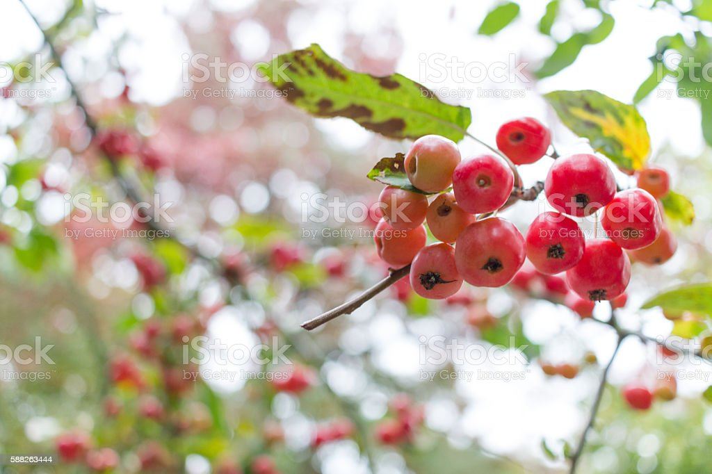 Crabapples on a Twig stock photo