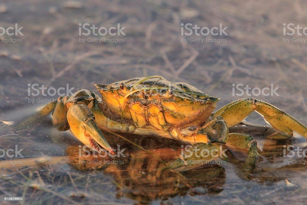 Crabe vert stock photo