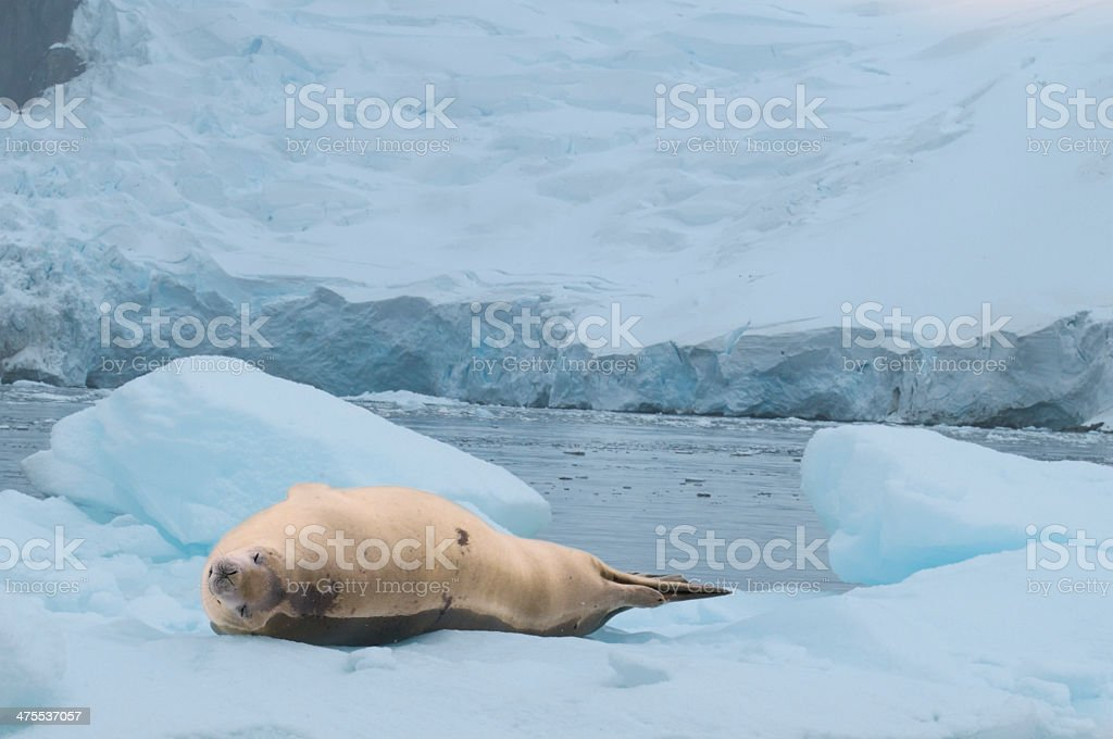 Crabeater Seal on Pack Ice stock photo