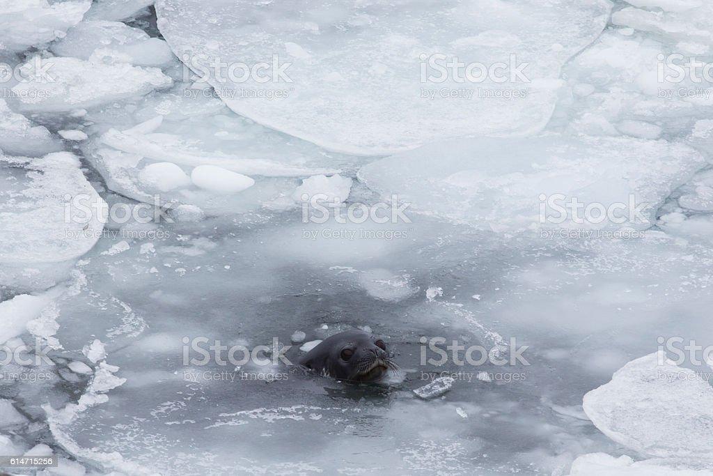 Crabeater seal stock photo