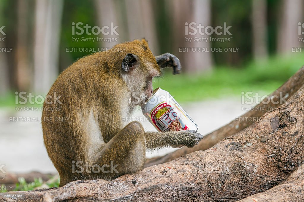 Crab-eating Macaque in Hat Chao Mai national park, Thailand stock photo