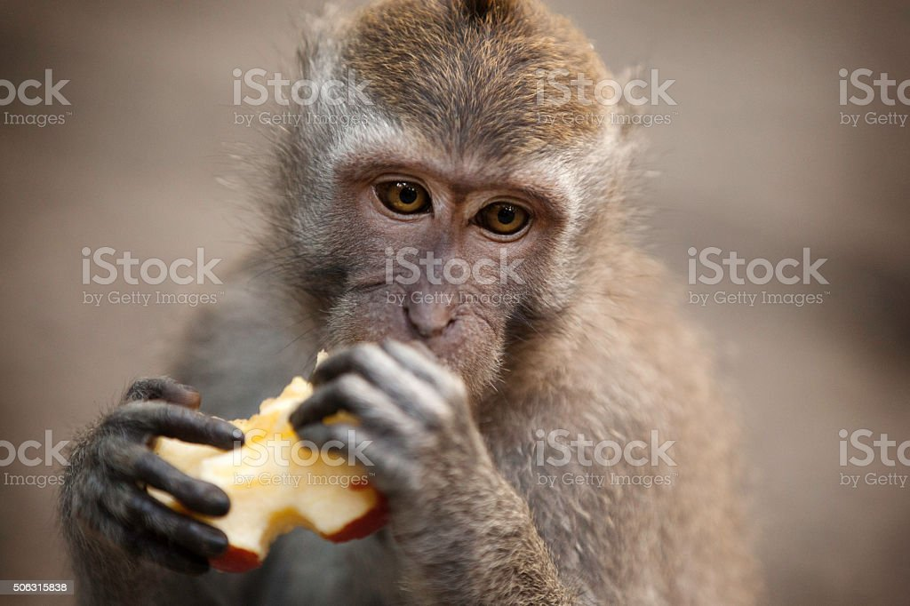 Crab-Eating Macaque (Macaca Fascicularis) Monkey Forest, Ubud, Bali stock photo
