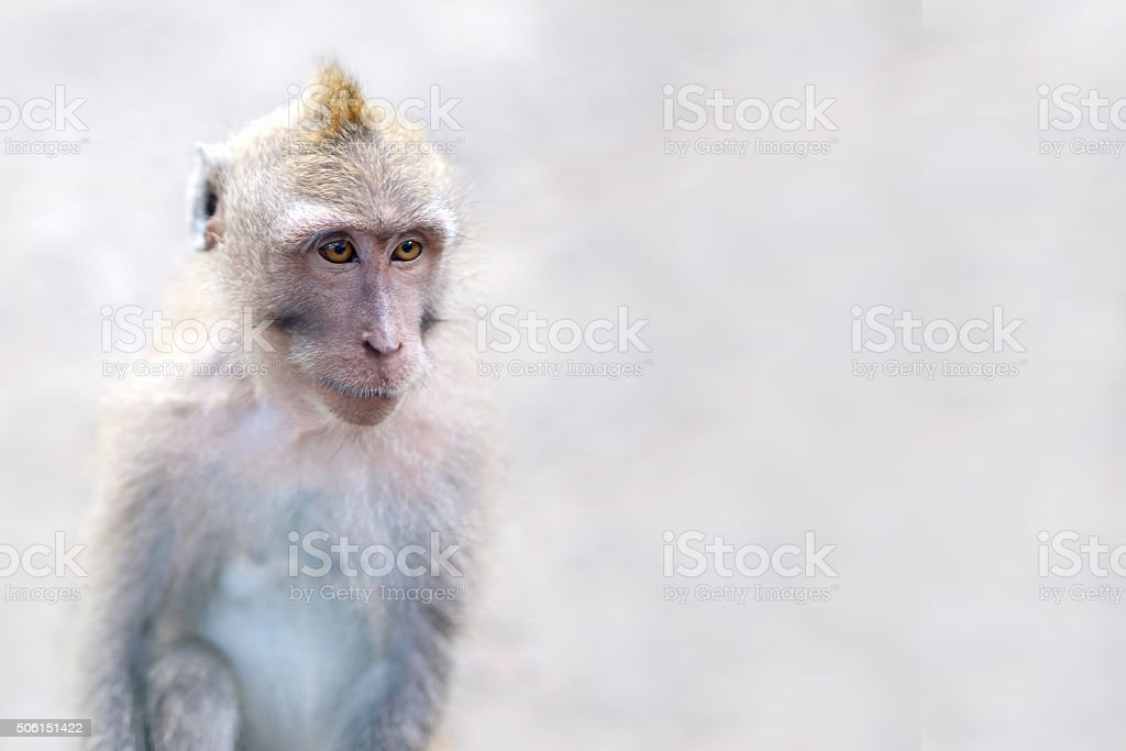 Crab-Eating Macaque (Macaca Fascicularis), Monkey Forest, Ubud stock photo