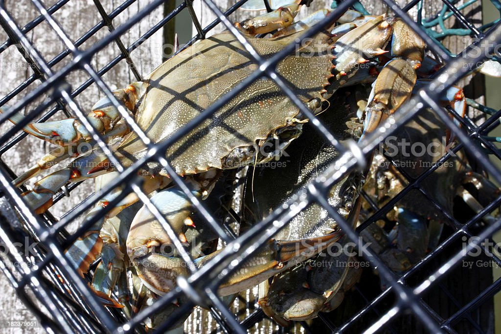 Crabs in Crab pot detail stock photo