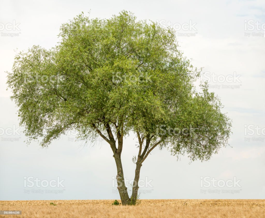 Crack willow or Salix fragilis along field isolated on bright-sky. stock photo