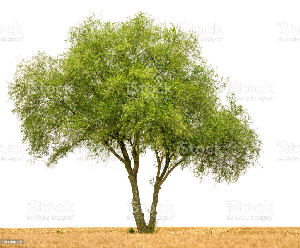 Crack willow or Salix fragilis along field isolated on white. stock photo